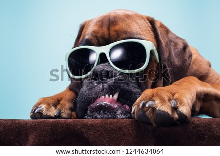 Close up on dog's head with sunglasses showing anger.