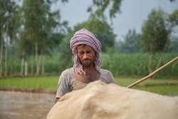 Close up on farmer plowing paddy field with a couple of Oxen.