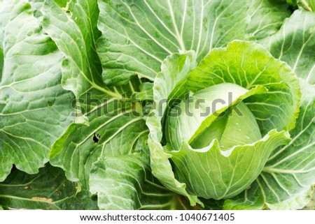 Close up on fresh cabbage in harvest field. Cabbage are growing in garden background in freshness atmosphere farm on mountain with mist in morning top view. Organic vegetable agriculture concept.