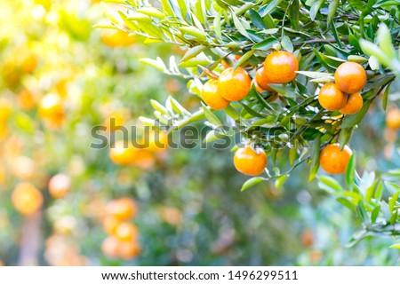 Close up on Fresh Orange from Orange Field