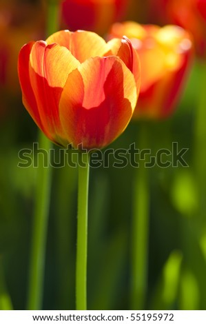 Close up on fresh tulips in warm sunlight