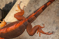 Close up on hind leg with long sharp claws of tropical reptile Red Iguana. Focus on leg with scaly skin. Skin in red, orange, yellow and blue tones. Red is a genus of herbivorous lizards.