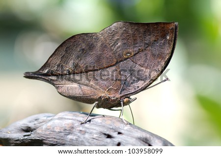 Close-up on kalima butterfly know as oak leaf