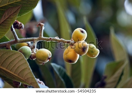 Close up on loquat fruit on a tree
