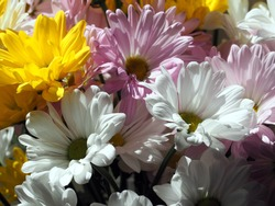 Close-up on marguerite flowers in a bouquet, all tied close together. Yellow, white and pink marguerite flowers in partial sunlight.