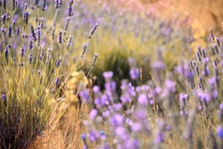 Close-up on mountain lavender on Hvar island in Croatia. Lavender swaying on wind over sunset sky, harvest, aromatherapy, perfume ingredient