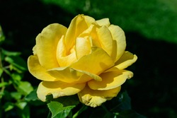 Close up on one delicate fresh vivid yellow rose and green leaves in a garden in a sunny summer day, beautiful outdoor floral background photographed with soft focus