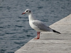 Close up on one seagull standing on the floor near lake Garda