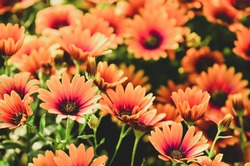 Close up on osteospermum flowers, otherwise known as African daisy