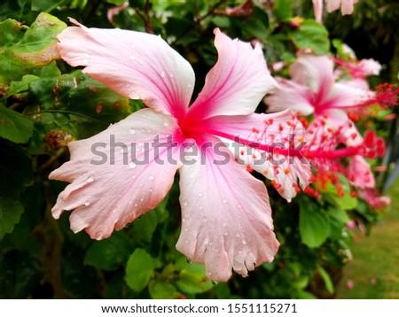 Close up on pink hibiscus pollen a petals. Botany concept.  #1551115271