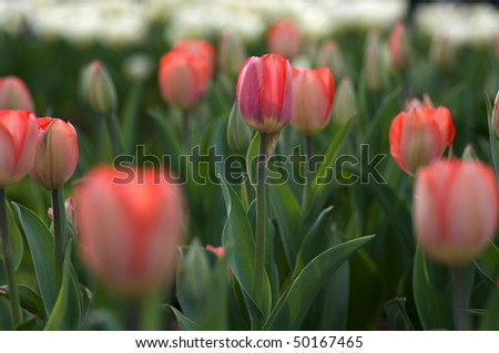 Close-up on pink tulips