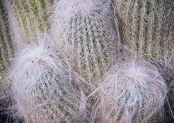 Close-up on the Cephalocereus senilis aka the