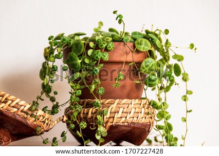 Close-up on the dainty patterned leaves of 'string of turtles' (peperomia prostrata) trailing houseplant in rustic pot on white background. Trendy houseplant detail against white backdrop. Stockfoto ©