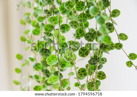 Close-up on the dainty patterned leaves of 'string of turtles' (peperomia prostrata) trailing houseplant on white background. Beautiful houseplant detail against white backdrop. Stockfoto ©