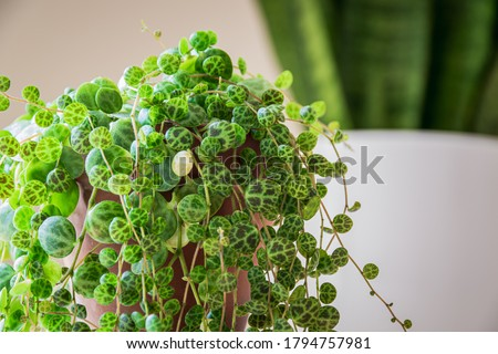 Close-up on the dainty patterned leaves of 'string of turtles' (peperomia prostrata) trailing houseplant in a modern apartment. Trendy houseplant detail against white backdrop. Stockfoto ©