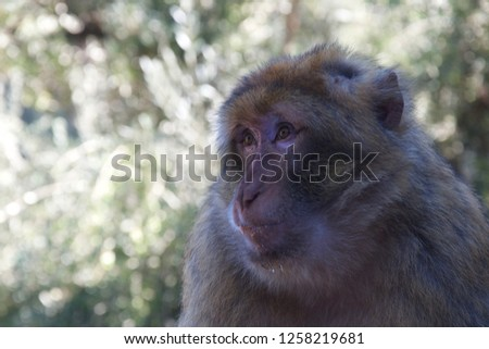 Close up on the face of a solemn monkey with crumbs in its facial fur