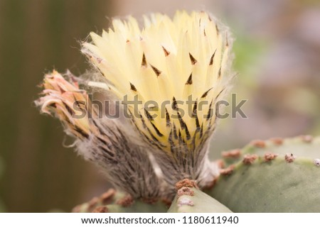 Close up on the flower of Astrophytum myriostigma, also called Bishop's cap cactus, bishop's miter cactus or bishop's hat, a spineless cactus native to mexico