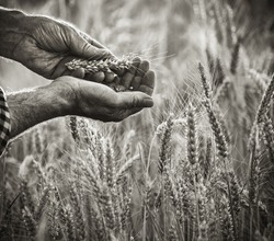 Close-up on the hands of a farmer examining an ear of wheat, he is standing in his field. Black and white picture