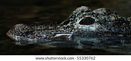 Close up on the head of a Chinese Alligator (Alligator sinensis).