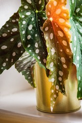 Close-up on the polka-dot patterned leaves of polka-dot begonia (begonia maculata var. Wightii) houseplant on a window sill in golden pot. Trendy houseplant detail in modern urban apartment.