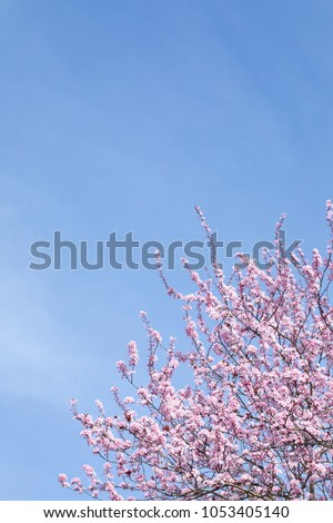 Close up on the top of a pink cherry blossom tree in Spring bloom, and a cloudy blue sky background with space for text on right #1053405140