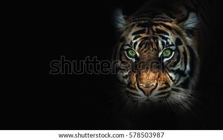 close up on  tiger, black background #578503987