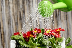 Close up on water pouring from watering can onto blooming flower bed