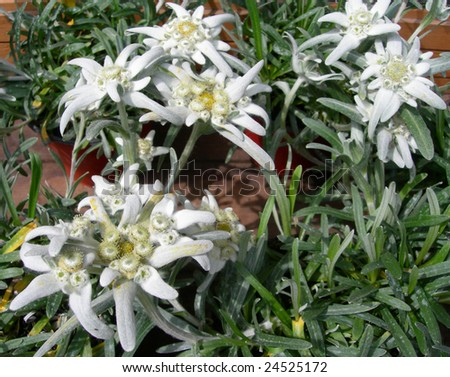 Close-up on White Edelweiss flowers in alpine garden - stock photo