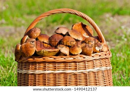 Close up on wicker basket with edible mushrooms (boletus edulis bull, borowik szlachetny, prawy, prawdziwek). Mushroom picking. Zdjęcia stock ©