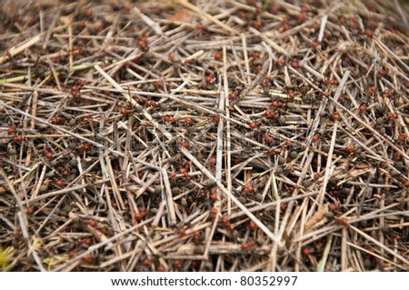Close-up or a Red Ant (fire ant) Hill