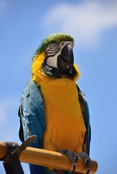 Close up or Ara ararauna parrot. Exotic colorful African macaw parrot, beautiful close up over natural blue sky blurred soft background