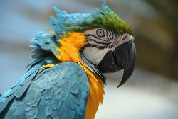 Close up or Ara ararauna parrot. Exotic colorful African macaw parrot, beautiful close up over natural blurred soft background.