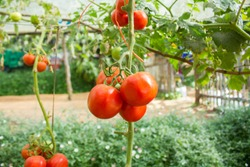 Close up or macro red tomatoes on the vine or plant in the farm background, Beautiful view of tomato for concept design and decorative workings