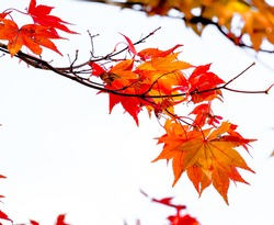 Close up orange maple branch on white isolated background in autumn season in Japan.