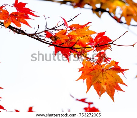 Close up orange maple branch on white isolated background in autumn season in Japan. #753272005