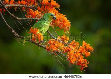 stock photo close up orange winged parrot amazona amazonica green parrot feeding on bright orange flowers of 464487536 - Каталог — Фотообои «Животные»