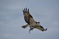 Close-up Osprey holding fish in talons during flight.