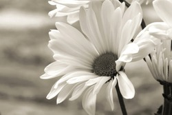 close up outdoor shot of a daisy flower in soft sepia tones