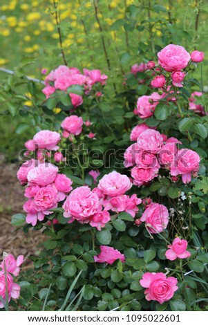 Close up outdoor view of a group of pink roses in a public botanical garden in France during spring. Pattern of flowers with buds and green leaves. Natural image with vivid colors. Ornamental plant.  #1095022601