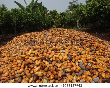Close up outdoor view of many cocoa tree fruits, called cacao pods. Pattern of ovoid and long fruits ripening yellow to orange. Green branches trees in background. Picture taken in ivory coast, africa