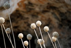 Close-up over the white flower of Lampedusa. Summer 2009.