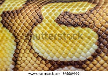 Close up overlay texture of snake skin leather. Showing of snake skin texture and detail. Snake in the nature habitat using as a background or wallpaper. Reptile Concept. Isolated background.