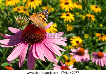 Close up Painted Lady Butterfly pollinating echinacea wildflowers in wildflower prairie garden Stock photo ©