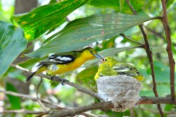 Close up parent feed up the baby bird. Common Iora - Aegithina tiphia