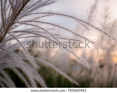 Close up paspas grass in Thailand Stok fotoğraf ©