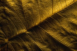 Close Up Patterns on gold leaf from Bodhi tree Isolated, planted in Thai temples. (also known as bo leave). concept of luxury to decorate. Gold-plated leaves deluxe natural design.