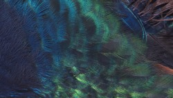 Close up peacock feather (Indian peafowl)