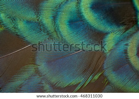 close-up peacock feathers - Shutterstock ID 468311030