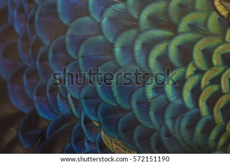 close-up peacock feathers - Shutterstock ID 572151190