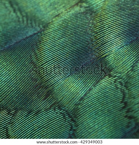 close-up peacock feathers ,Beautiful feather bird  - Shutterstock ID 429349003